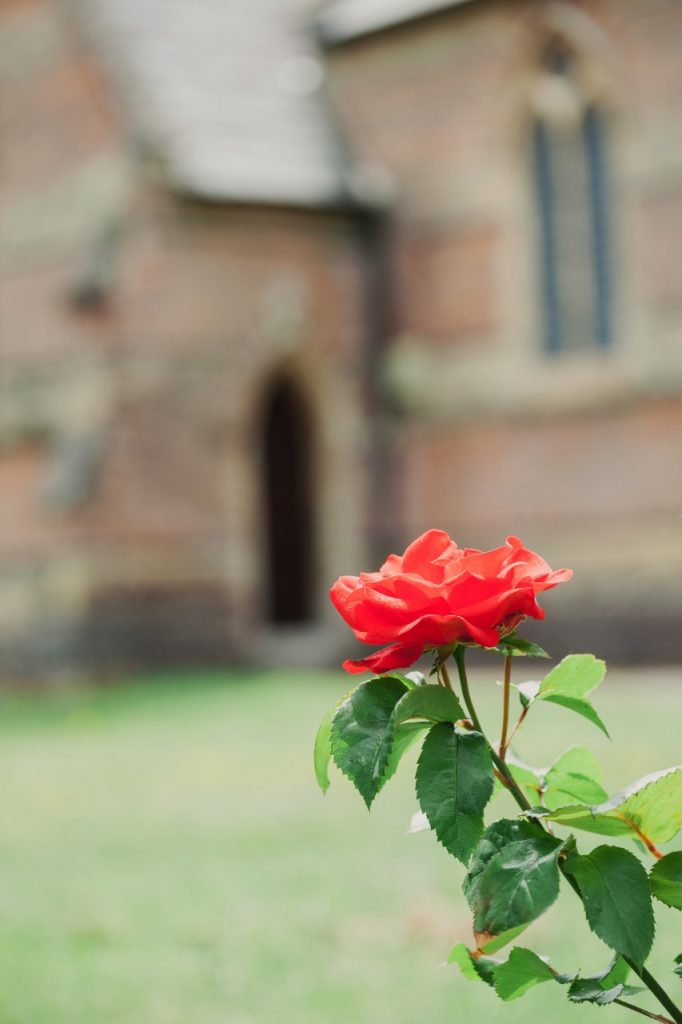 Solitary rose in churchyard