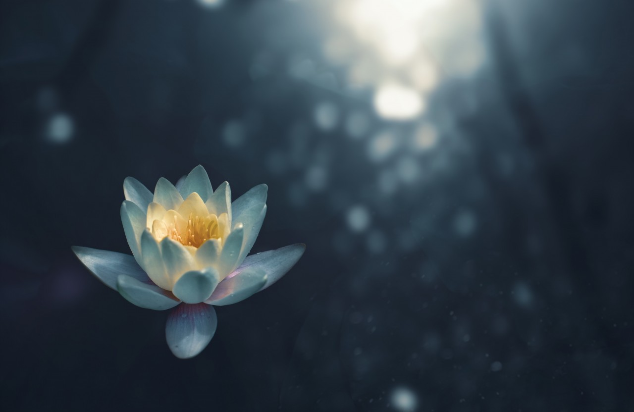 Lotus flower on water