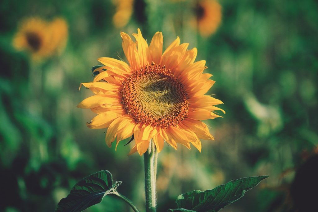 Sunflower against green field