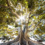 Gnarled rooted tree with sunlight behind
