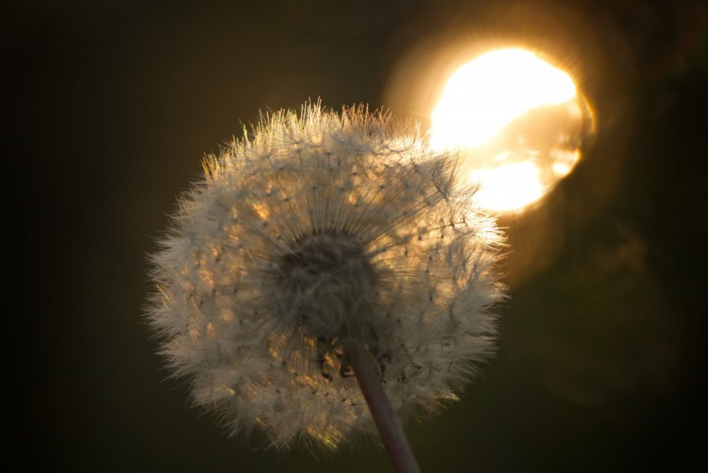 Dandelion with sun behind