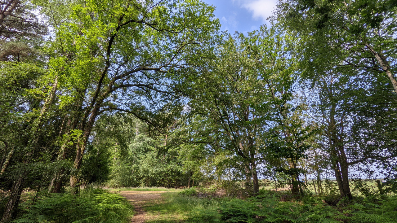 New forest under trees at Norley Wood